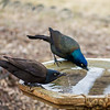 Common Grackles (female and male pair)