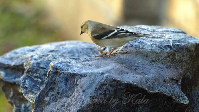 Female Goldfinch Checking Out The Fountain View 1