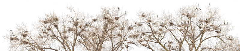 A Great Blue Heron Rookery in Minnesota