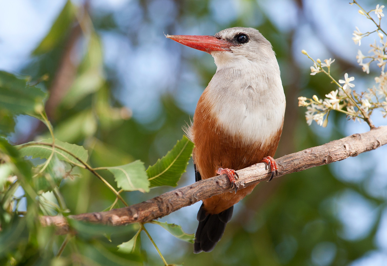 Grey-Headed Kingfisher (Halcyon leucocephala).