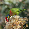 Varied Lorikeet (Psitteuteles versicolor)