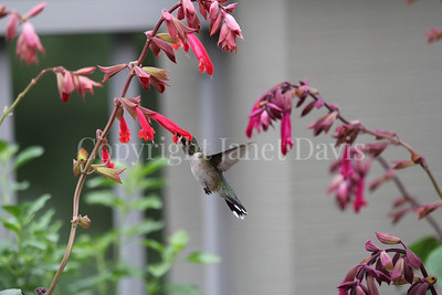 Archilochus colubris – Ruby throated hummingbird on 'Ember's Wish' Salvia 1