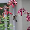 Archilochus colubris – Ruby throated hummingbird on 'Ember's Wish' Salvia 1