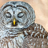 Barred Owl with Closed Eyes - Feathers Covering Eyelids