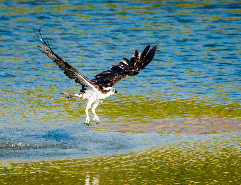 Osprey taking off