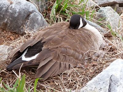 Nesting Canada Goose (digital painting)