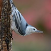 Nuthatch Bird