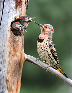 Northern Flicker chicks demand food. Hidden Lakes, Yukon. June, 2011.