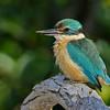 Sacred Kingfisher (Todiramphus sanctus)