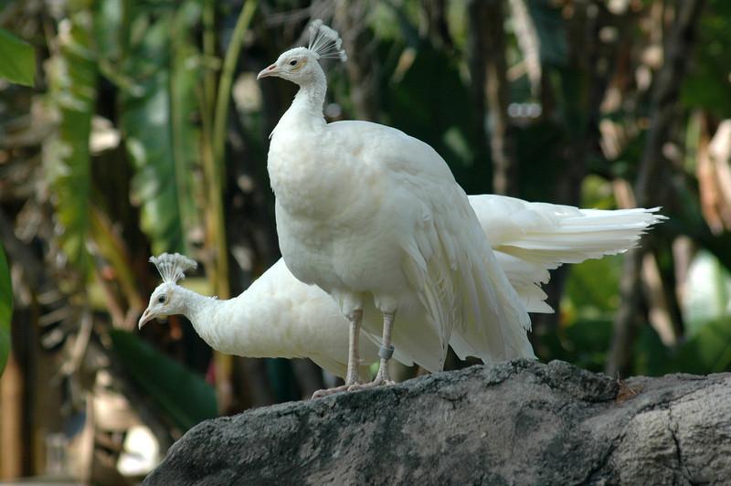 albino peacocks, Central Florida