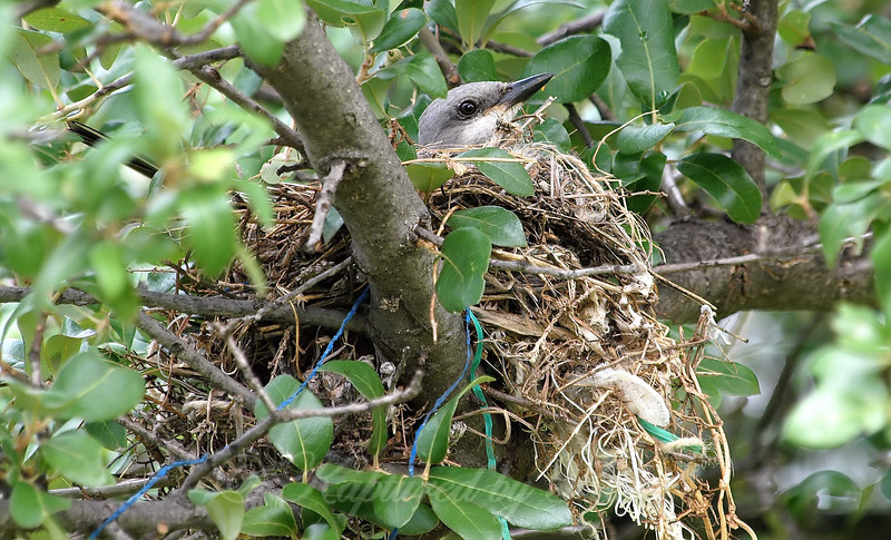 Mama Western Kingbird On Her Nest