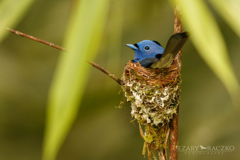 Black-naped Monarch (Hypothymis azurea)