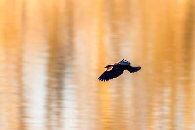 Blackbird over golden pond