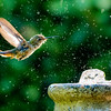 Cooling off - Allen's Hummingbird