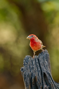 Red Finch, Perdenales State Park, Texas.