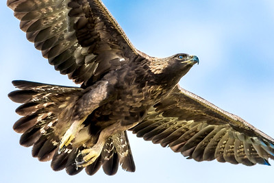 Golden Eagle On the Way