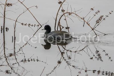 Black Coot
