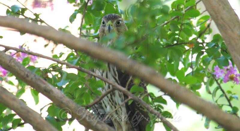 Hide And Seek Hawk