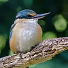 Sacred  Kingfisher, Currumbin Wildlife Park, Gold Coast. Qld.
