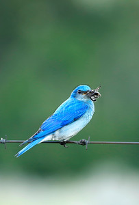 Male Bluebird with Butterfly