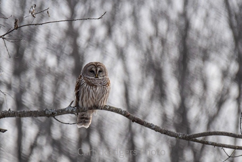 Beautiful barred owl on the hunt!