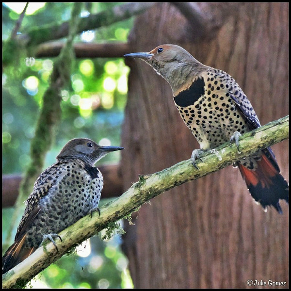 Female Northern (red-shafted) Flicker and Fledgling