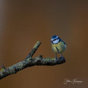 Blue Tit, Dorset