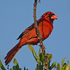 Northern Cardinal on Lover's Key during the golden hour.
