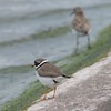 Ringed Plover at Farmoor 1st May 2017
