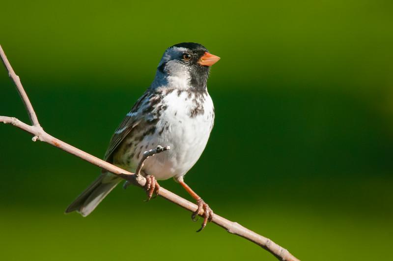 Harris's Sparrow, Zonotrichia querula