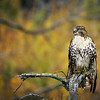Red-tailed Hawk - Riding Mountain National Park, Manitoba