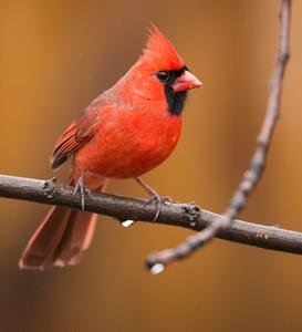Northern Cardinal, Beauty on a Rainy Da