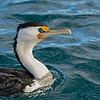 Pied Cormorant, The Broadwater Birds,