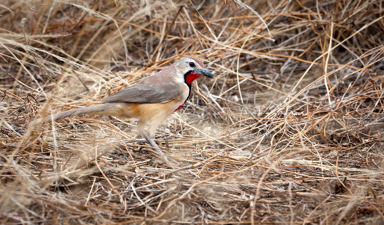 Rosy-Patched Bushshrike (Rhodophoneus cruentus).
