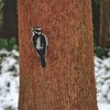 Daily Visiter—Hairy Woodpecker (female)