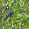 Blue Grosbeak May 2013; Bombay Hook Wildlife Refuge, DE