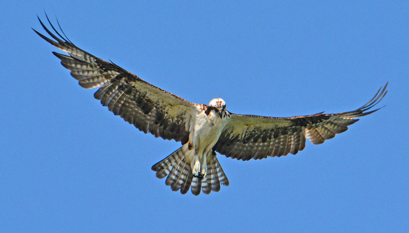 "Ospreys or ""fish hawks"" are experts at fishing."