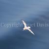 Fulmarus glacialis - Northern fulmar 18