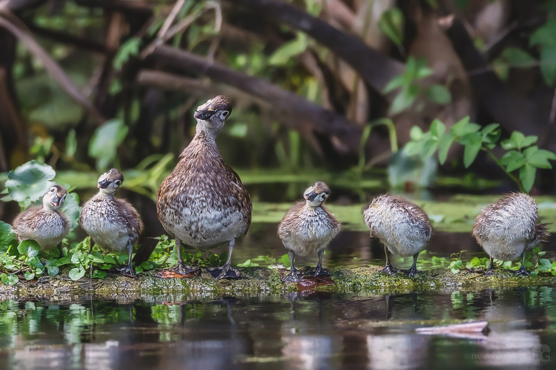 Inquisitive wood duck family