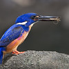 Azure Kingfisher with a Shrimp, Tallebudgeraba Creek, Burleigh Heads, Queensland.