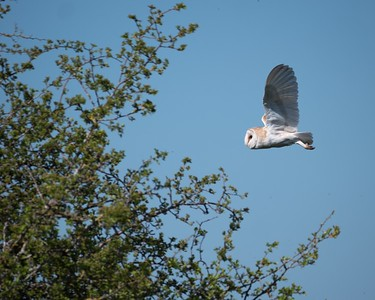 Barn Owl at Farmoor 5th May 2018 -4