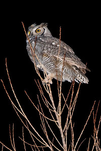 Great Horned Owl, Bosque del Apache WLR, NM