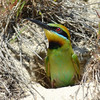 Female Rainbow Bee Eater.<br /> Gold Coast Spit,<br /> Queensland.