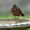 Juvenile Robin View 1