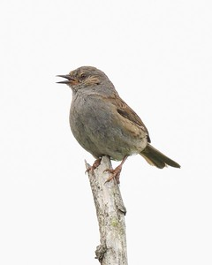 Dunnock at Hungerford 10th June 2017