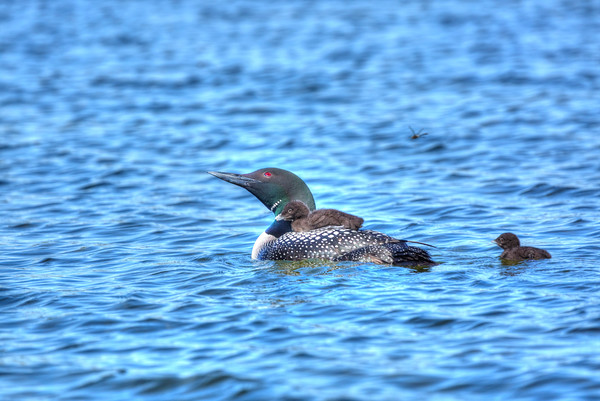 Common Loon with chicks and mosquito