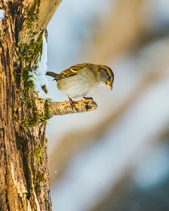 House Sparrow, Paser domesticus