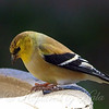 Goldfinch Close Up View 2