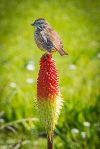 Wren on Red Hot Poker Flower
