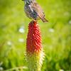 Wren on Flower